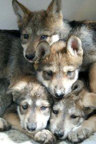 Cachorros lobo-2