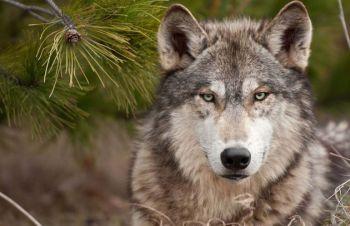 lobo-5