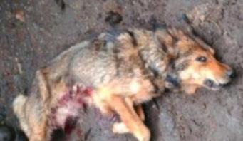 Lobo herido-1