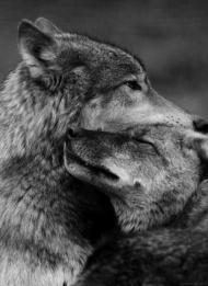 pareja lobos-6