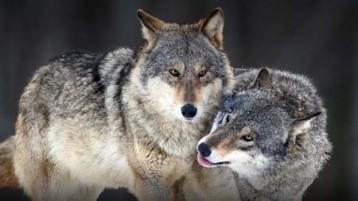 pareja lobos-7