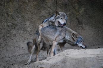 pareja lobos cojiendo-1
