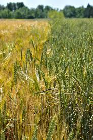 Campo de trigo-2